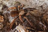 Tarantula Spider  Arenal  Alajuela Province  Costa Rica  Central America