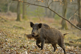 Wild Boar (Sus Scrofa) Female Moving Through Forest  Defensive of Piglets  Forest of Dean  UK