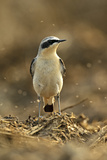 Northern Wheatear (Oenanthe Oenanthe) Male in Spring Plumage Feeding on Flies  Hertfordshire  UK