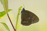 Ringlet Butterfly (Aphantopus Hyperanthus) with Wings Closed  Somerset Levels  UK  July