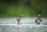 Two Mallard (Anas Platyrhynchos) Ducklings Standing Up to Shake Wings after Bathing  Derbyshire  UK
