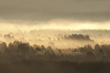 Caledonian Pine Forest in Mist at Sunrise  Rothiemurchus Forest  Cairngorms Np  Scotland  UK