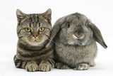 British Shorthair Brown Tabby Cat  Tiger Lily  with Agouti Lop Rabbit