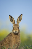 European Brown Hare (Lepus Europaeus) Adult Portrait Near Field of Rapeseed  Cambridgeshire  UK