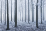 Beech (Fagus Sylvatica) Woodland in Mist and Frost Compton Abbas  Dorset  England  UK