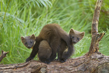 Pine Marten (Martes Martes) Two Playing on Fallen Pine Log in Woodland  Wester Ross  Scotland  UK