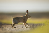 European Brown Hare (Lepus Europaeus) Male Pursuing a Female  Elmley Marshes  Kent  UK  February