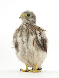 Kestrel (Falco Tinnunculus) Hand-Reared Chick Portrait