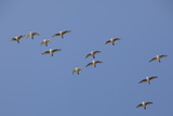 Flock of Knot (Calidris Canuta) in Flight the Wash Estuary  Norfolk  October