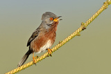 Dartford Warbler (Sylvia Undata) Male Perched  Singing  Wales  UK  May