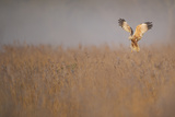 Marsh Harrier (Circus Aeruginosus) Adult Male in Flight Hunting over Reedbed at Dawn  Norfolk  UK
