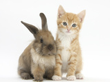Ginger Kitten  7 Weeks  and Young Lionhead-Lop Rabbit