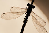 Emerald Damselfly {Lestes Sponsa}  Silhouette Against Water  Arne Nature Reserve  Dorset  UK