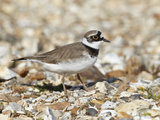Little Ringed Plover (Charadrius Dubius) on the Edge of Gravel Pit  Hampshire  England  UK  April