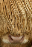 Close-Up of Highland Cow (Bos Taurus) Showing Thick Insulating Hair  Isle of Lewis  Scotland  UK