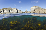 Kelp Forest (Laminaria Sp) Growing Beneath the Cliffs of Lundy Island  Devon  UK