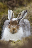 Mountain Hare (Lepus Timidus) with Partial Winter Coat  Scotland  UK  April