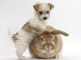 Bichon Frise Cross Yorkshire Terrier Puppy, 6 Weeks, and Sandy Rabbit Papier Photo par Mark Taylor