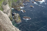 Gannet (Morus Bassanus) Breeding Colony Flight Trails Hermaness Nnr  Shetland  Scotland  UK