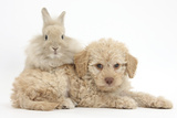 Toy Labradoodle Puppy and Lionhead-Cross Rabbit
