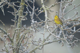 Yellowhammer (Emberiza Citrinella) Male Perched in Frost  Scotland  UK  December