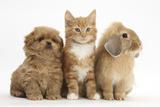 Peekapoo Puppy  Ginger Kitten and Sandy Lop Rabbit