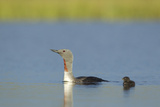 Red-Throated Diver (Gavia Stellata) Adult and Young Chick on Breeding Loch  Scotland  UK  July