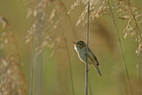 Sedge Warbler (Acrocephalus Schoenobaenus) Adult Singing in Reedbed  Cambridgeshire  UK  May