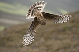 Hen Harrier (Circus Cyaneus) Female Diving to Nest Site  Carrying Nesting Material  UK  June
