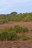 Birch Trees and Heather (Calluna Vulgaris) in Flower on Westleton Heath Nnr  Suffolk  UK