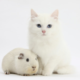 White Main Coon-Cross Kitten with White Guinea Pig
