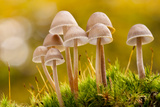 Close-Up of Group of Toadstools (Mycena Sp) Autumn Leicestershire  UK November