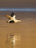 Eider (Somateria Mollissima) Male in Flight in Evening Light Aberdeenshire  Scotland  UK  March