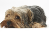 Yorkshire Terrier  Lying with Chin on the Floor