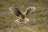 Hen Harrier (Circus Cyaneus) Hovering over Moorland  Glen Tanar Estate  Deeside  Scotland  UK