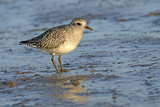 Grey Plover (Pluvialis Squatarola) in Winter Plumage  the Wash  Norfolk  England  UK  December