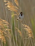Reed Bunting (Emberiza Schoeniclus) Adult Male Perched in Reedbed  Norfolk  UK  May