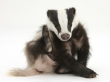 Young Badger (Meles Meles) Scratching Himself