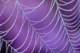 Dew Covered Spider's Web with Flowering Heather, Arne Rspb Reserve, Dorset, England Papier Photo par Ross Hoddinott