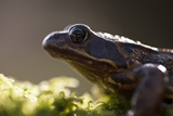 Common Frog {Rana Temporaria}  Backlit Portrait  Cornwall  UK January 2012
