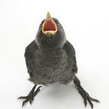 Baby Jackdaw (Corvus Monedula) Gaping to Be Fed