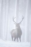Red Deer (Cervus Elaphus) Stag in Pine Forest in Snow Blizzard  Cairngorms Np  Scotland  UK