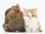 Partridge Pekin Bantam with Ginger-And-White Kitten