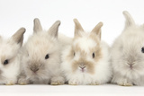 Four Baby Lionhead Cross Lop Bunnies in a Row