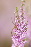 Harvestman (Opiliones) on Flowering Heather  Arne Rspb Reserve  Dorset  England  UK  July