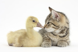 Cute Tabby Kitten  Stanley  9 Weeks  Nose to Beak with Yellow Gosling