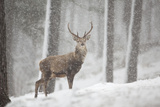 Red Deer (Cervus Elaphus) in Heavy Snowfall  Cairngorms National Park  Scotland  March 2012