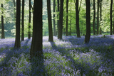 A Carpet of Bluebells (Endymion Nonscriptus) in Beech (Fagus Sylvatica) Woodland  Hampshire  UK