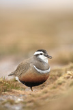 Male Eurasian Dotterel in Breeding Habitat  Grampian Mountains  Cairngorms Np  Scotland  UK