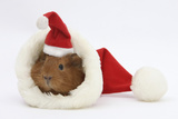 Baby Guinea Pig in and Wearing a Father Christmas Hat